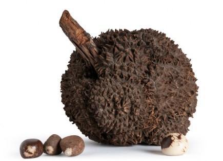 fruto-tagua-palma-marfil-vegetal