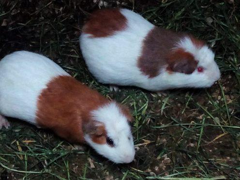 cobayas-cuys-conejillos-de-indias-ecuador