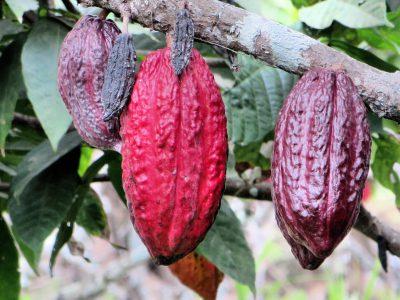 cacao-vainas-ecuador
