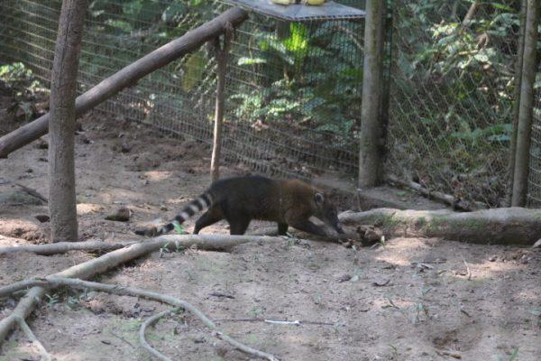 coati-amazonia-ecuador