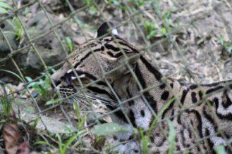 leopardo-tigrillo- amazonia-ecuador