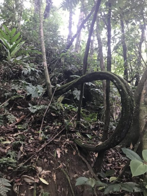 liana-selva-amazonica-ecuador