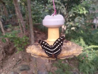 mariposa-butterfly-ecuador-9