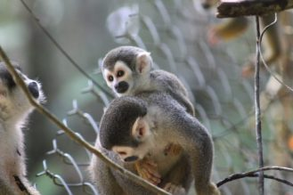 monos-capuchinos-amazonia-amazonas-ecuador