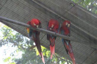 papagayos-amazonia-ecuador-1