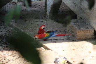 papagayos-amazonia-ecuador