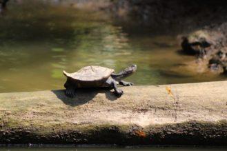 tortuga-amazonia-ecuador-amazonas