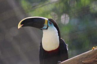 tucan-amazonia-amazonas-ecuador