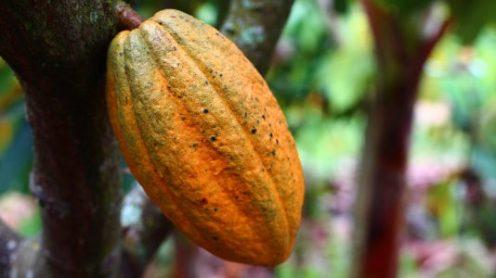 vaina-cacao-2-beans-ecuador