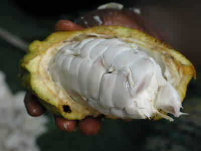 vaina-cacao-beans-ecuador