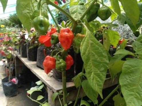 pimientos-pepper-nayon-quito-ecuador